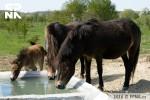 Hříbata divokých koní