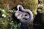 zmije-obecna