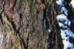 borovice-cerna-03a
